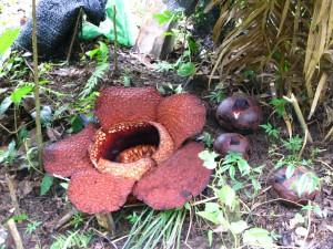 Rafflesia_arnoldii_and_buds Rahaelhui